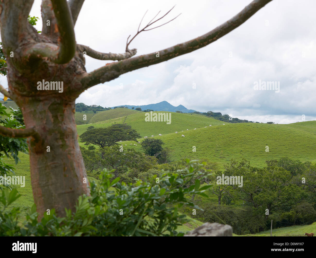 mist shrouded,green highland mountain forest; meteorolgical devide; near the mountainsides of Cordillera de Tilaràn,Costa - Stock Image