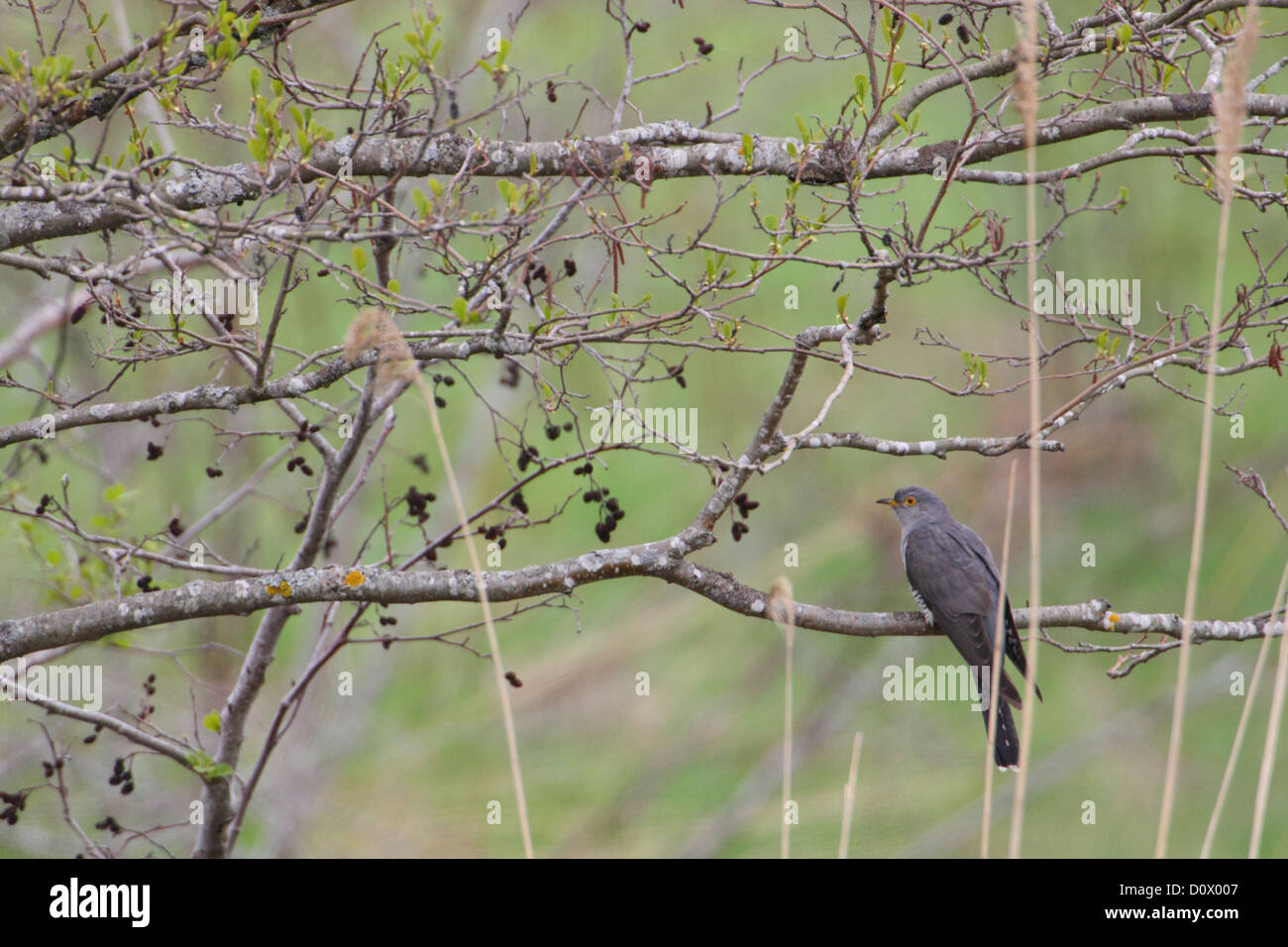 Common Cuckoo (Cuculus canorus), adult male, spring. Europe. - Stock Image
