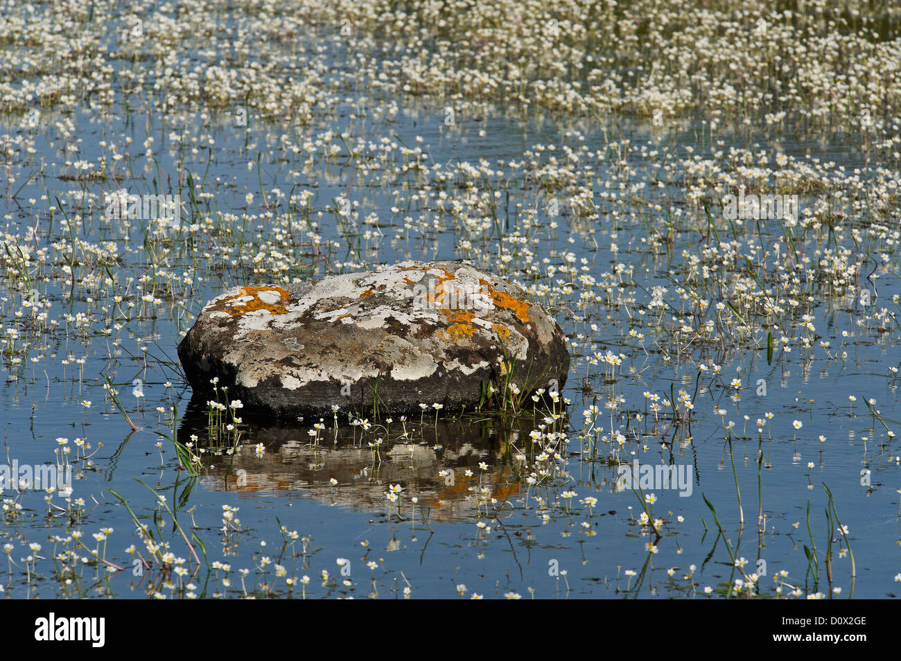 a rock covered with lichens in a pond of the Giara of Gesturi, Cagliari province, Sardinia, Italy - Stock Image