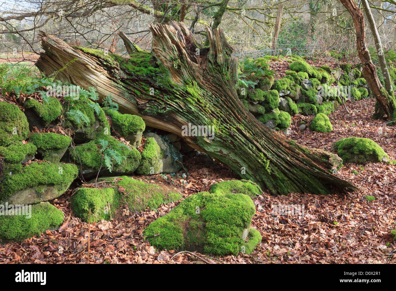 Rotten fallen tree trunk by an old stone wall covered in moss in woodland in the Dwyfor Valley, Gwynedd, North Wales, Stock Photo