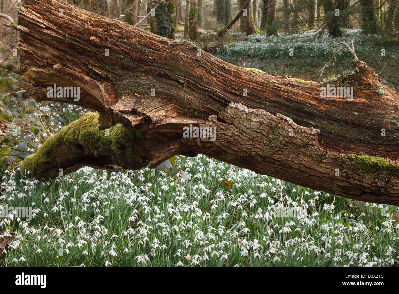 Woodland scene with wild Snowdrops (Galanthus nivalis) growing by a rotten fallen tree trunk in winter in Dwyfor - Stock Image