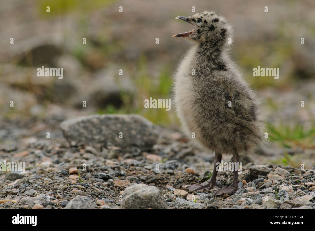 Young mew gull begging for food - Stock Image