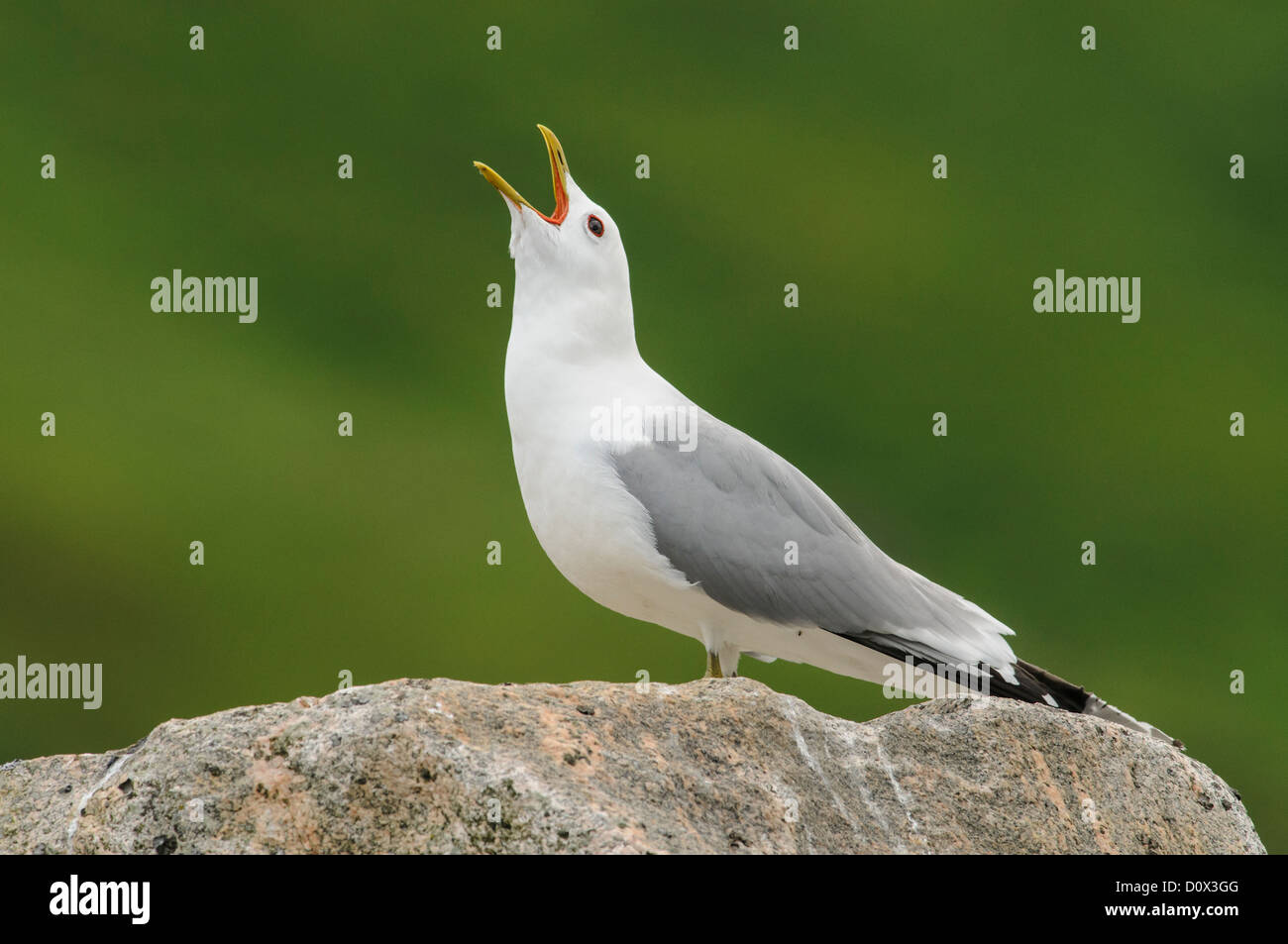 Mew Gull calling while sitting on a high rock - Stock Image