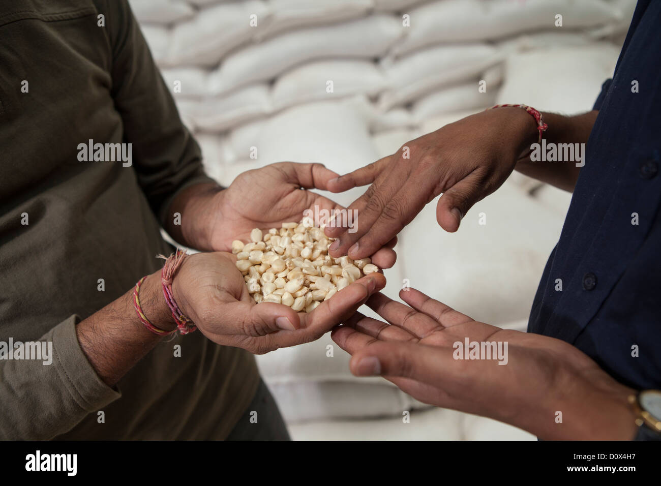 Workers analyze corn kernels at a warehouse in Kampala, Uganda, East Africa. - Stock Image