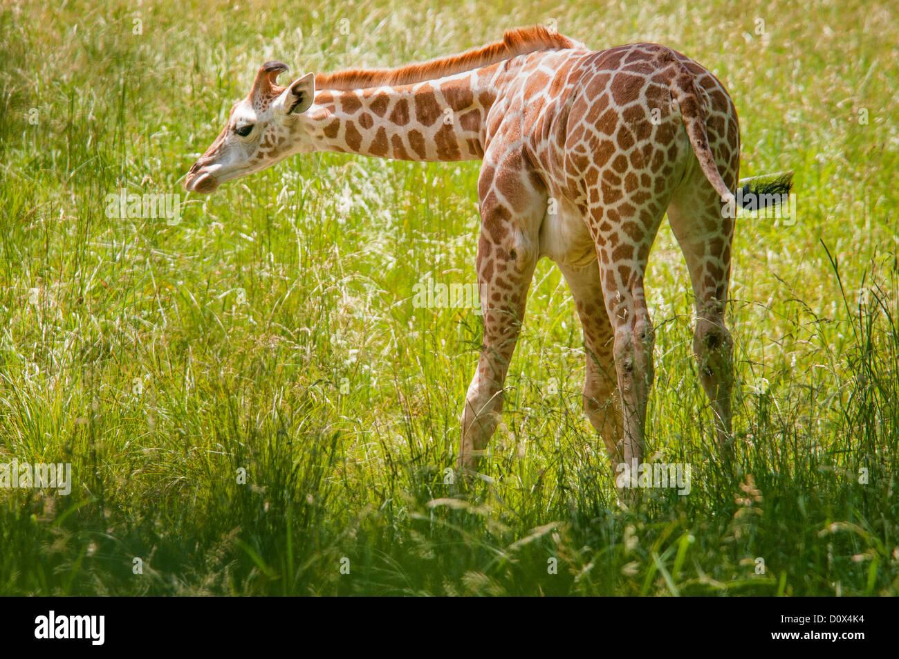Baringo or Rothschild's Giraffe Calf, Giraffa camelopardalis rothschildi, Bronx Zoo, New York, USA Stock Photo