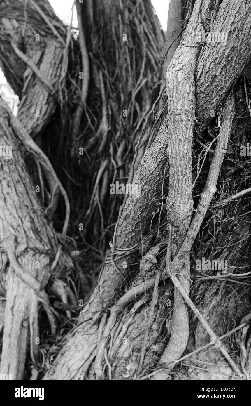 Closeup of old tree trunk roots (BW). - Stock Image