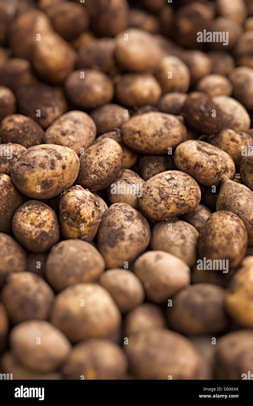 Recently dug potatoes with earth on skins, UK - Stock Image