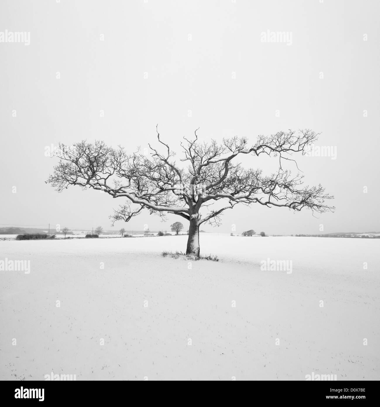 An old Oak tree in the winter snow. Appledore, Kent - Stock Image