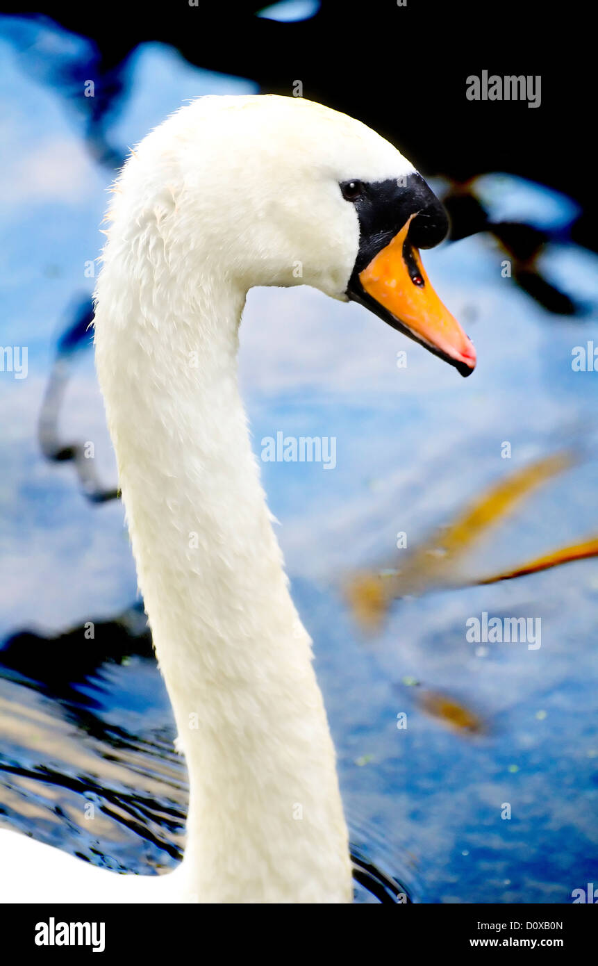 Swan Head at Bradford on Avon's River - Stock Image
