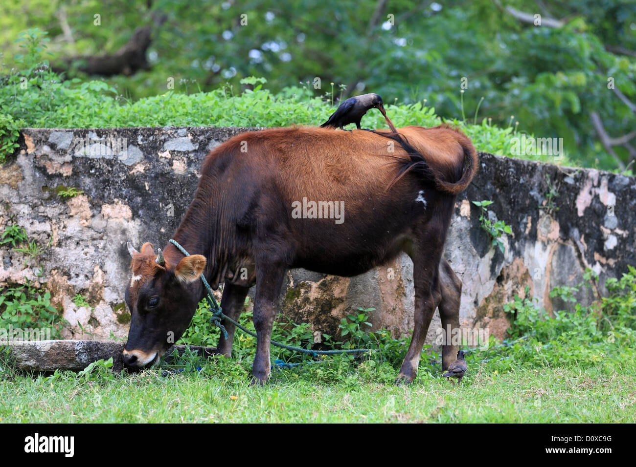 A crow pulls on the tail of a cow in Galle Fort, Sri Lanka. Stock Photo
