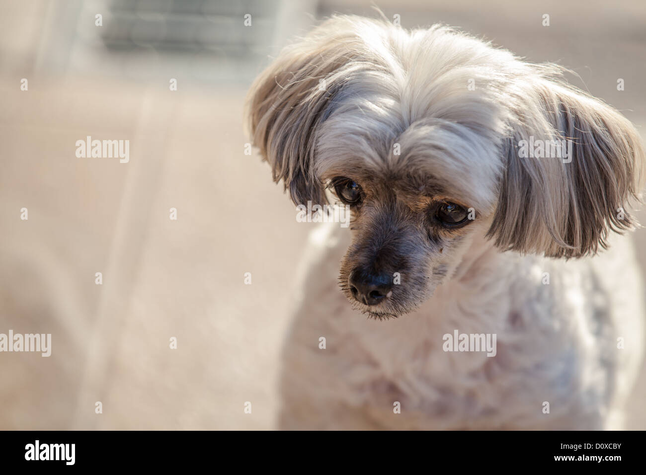 Maltese Yorkie Mix Stock Photos Maltese Yorkie Mix Stock Images