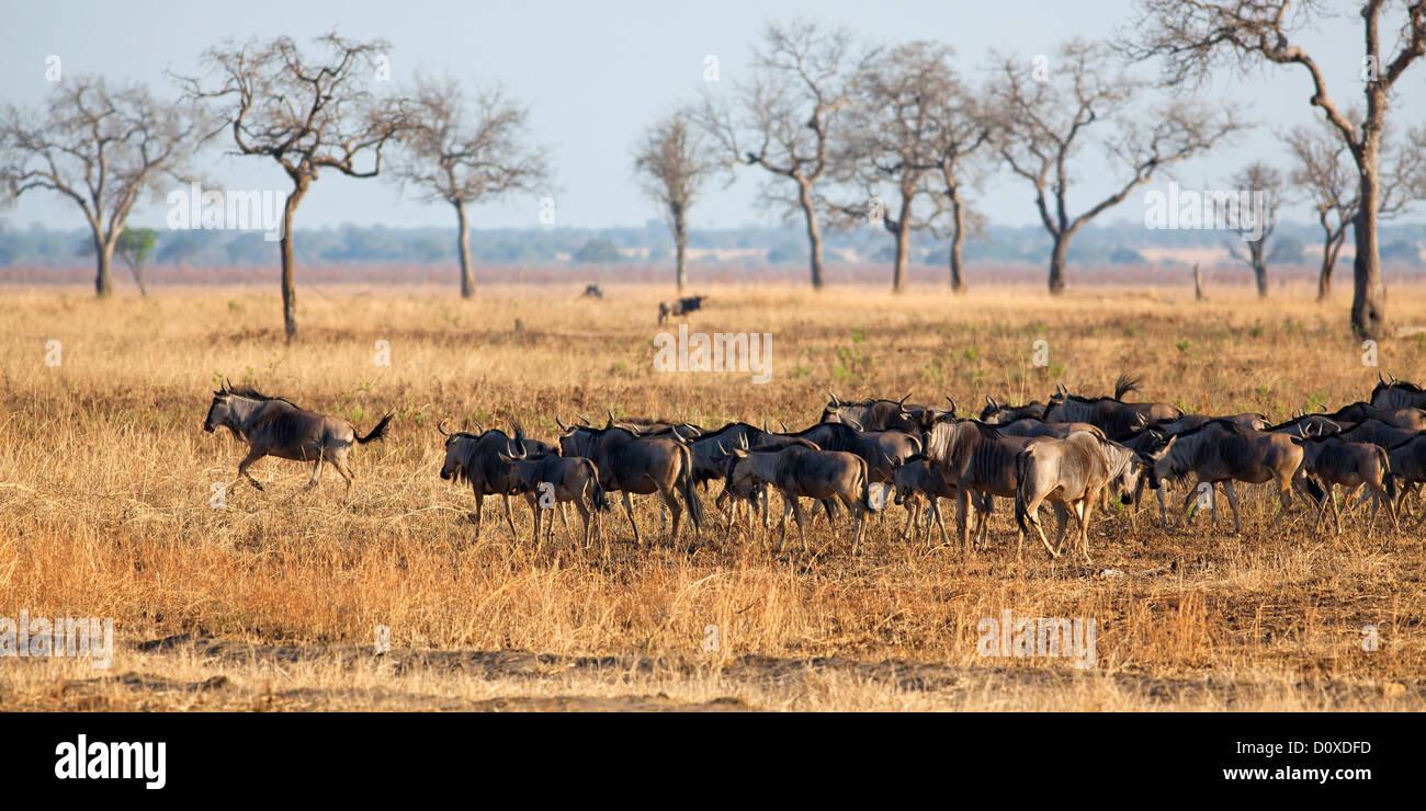 Wildebeest in Mikumi - Stock Image