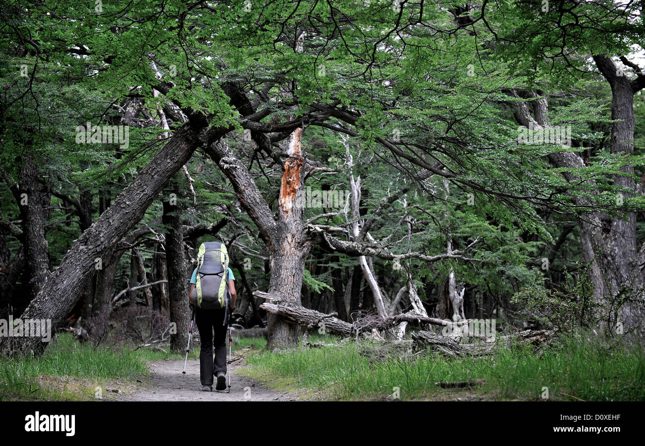 Woman hikes in beech forest in Los Glaciares National Park, El Chalten, Argentina - Stock Image
