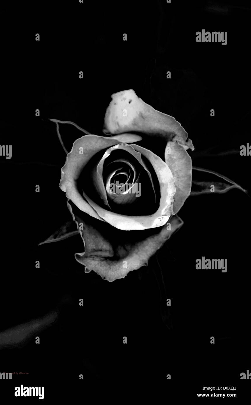black and white photo with a rose on back black drop - Stock Image
