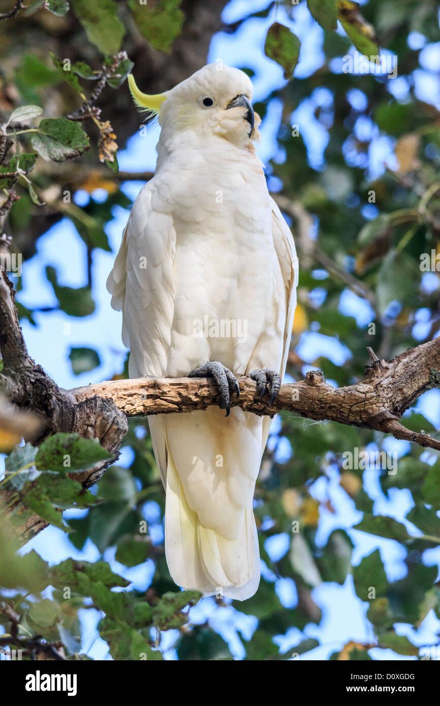 Australia, Ballarat, Cacatua galerita, Sulphur-crested Cockatoo, Victoria, bird, pests - Stock Image