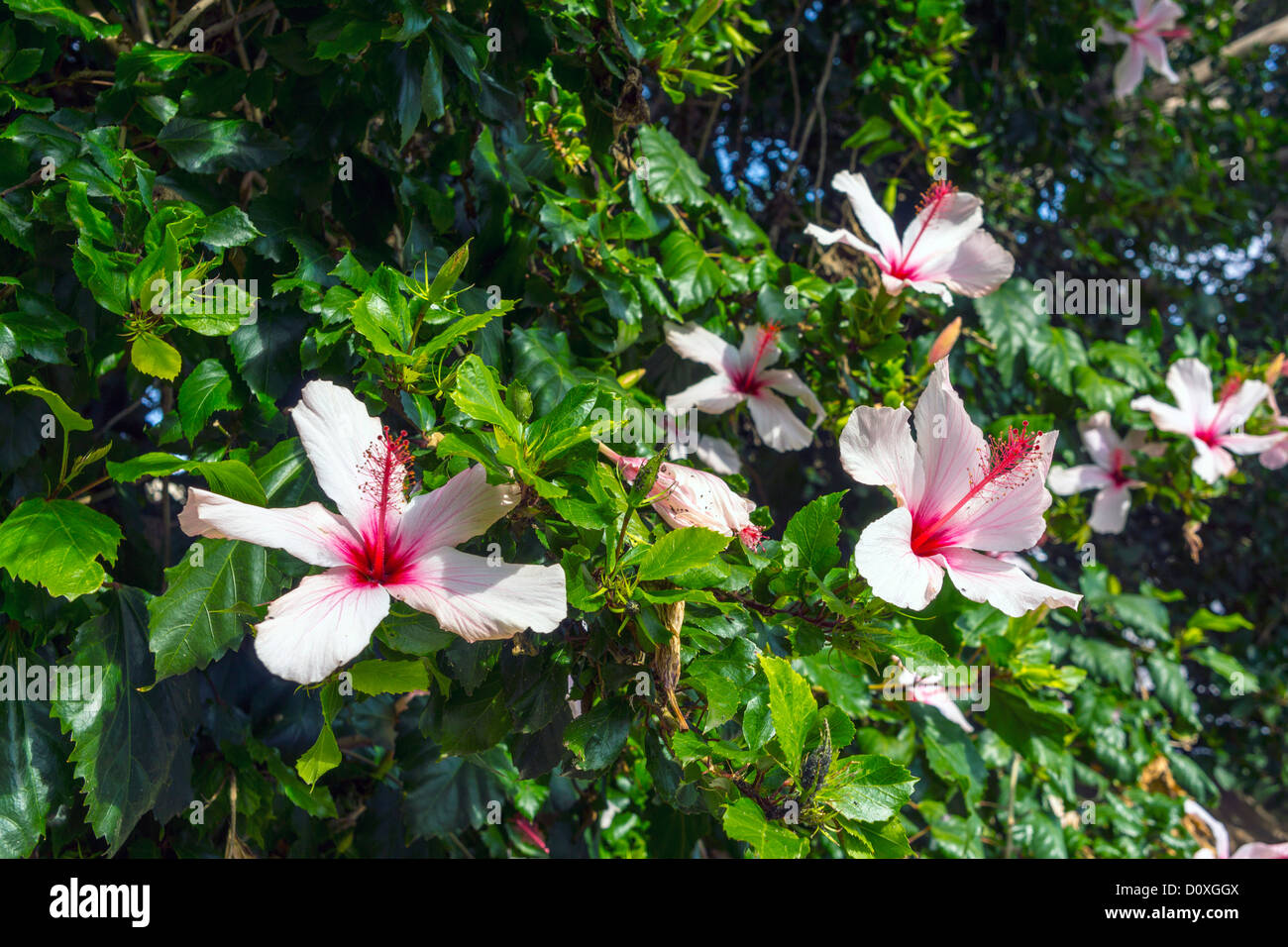 White Hibiscus Flower Stock Photos & White Hibiscus Flower Stock ...
