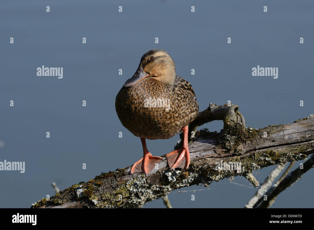 Mallard, Anas platyrhynchos, Anatidae, female, duck, bird, animal, dam, Klingnau, Canton, Argovie, Switzerland - Stock Image