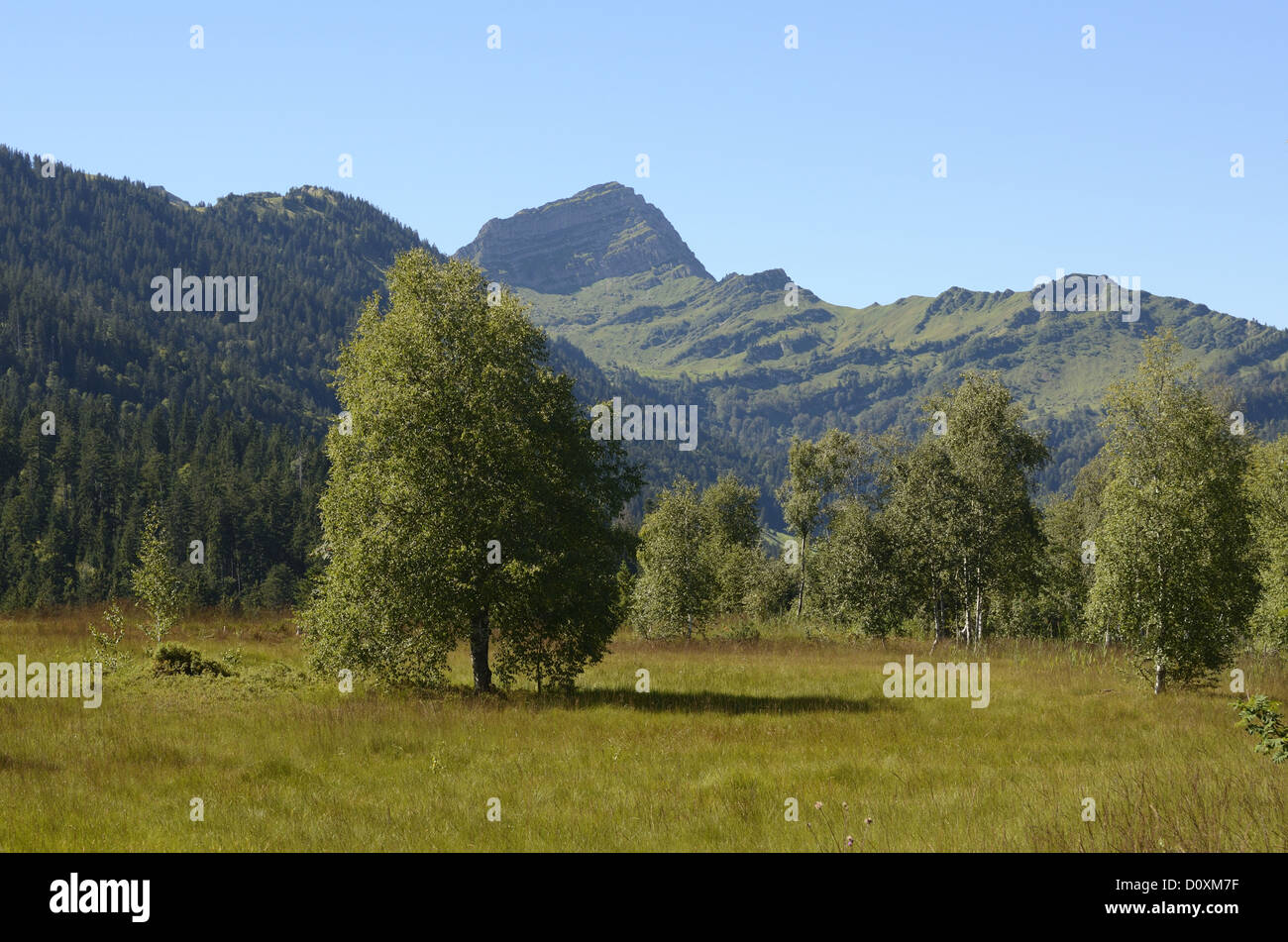 Upland moor, Riedach, Nesslau, birch-tree, Speer, mountain, Canton, St. Gall, Switzerland - Stock Image
