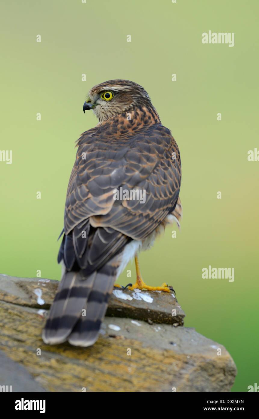 Sparrow Hawk, Accipiter  nisus, Accipitridae, bird, bird of prey, raptor, animal, Lohn, Canton, Grisons, Graubunden - Stock Image