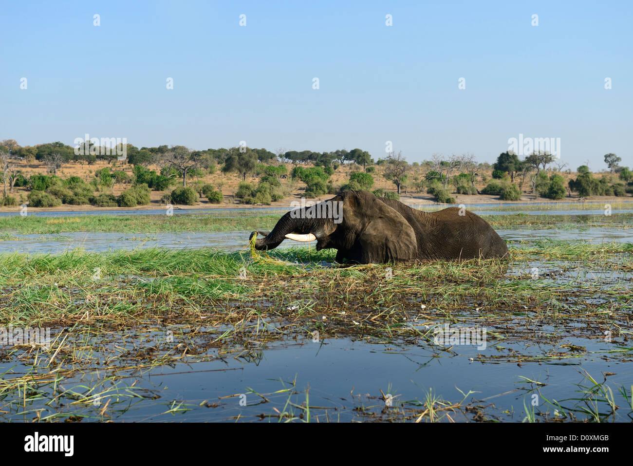 Africa, Botswana, Chobe, National Park, elephant, animal, safari, water, river, animal, mammal, Loxodonta african, - Stock Image