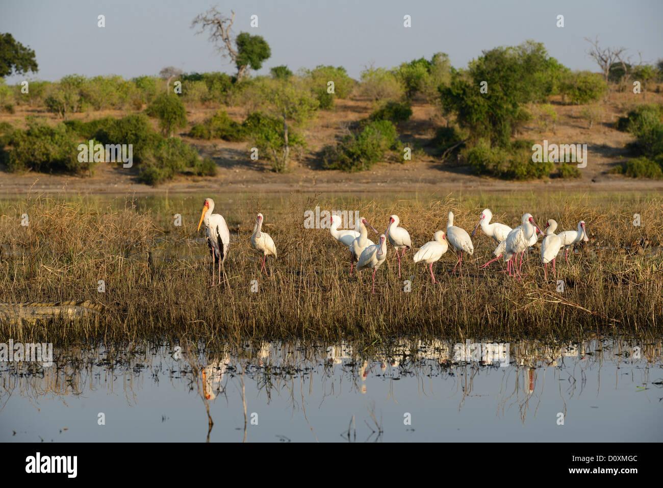 Africa, Botswana, Chobe, National Park, Yellow-billed Stork, wildlife, bird, Mycteria ibis, stork, - Stock Image
