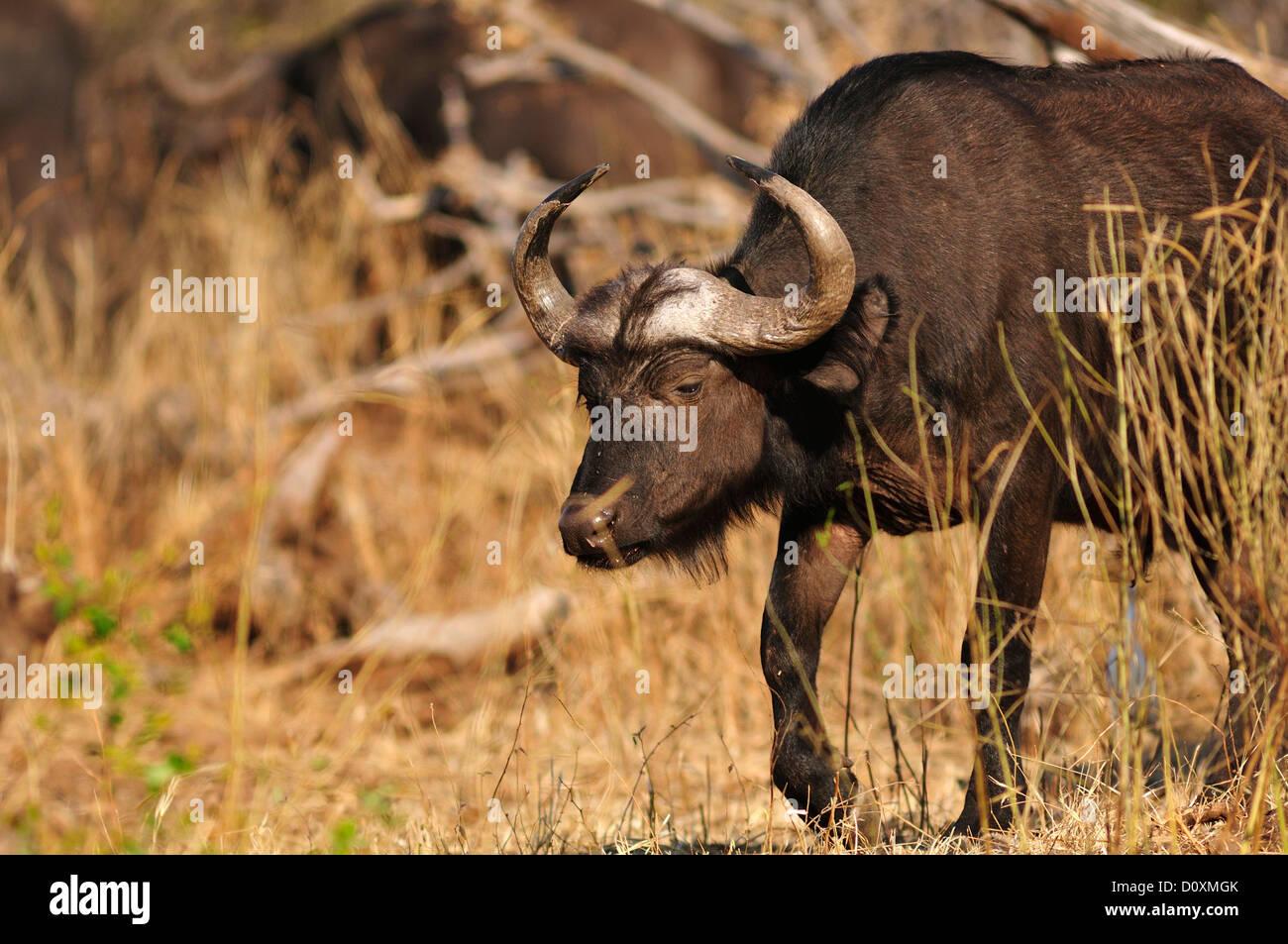 Africa, Botswana, Chobe, National Park, safari, horizontal, wildlife, Buffalo, animal, Syncerus caffer Stock Photo