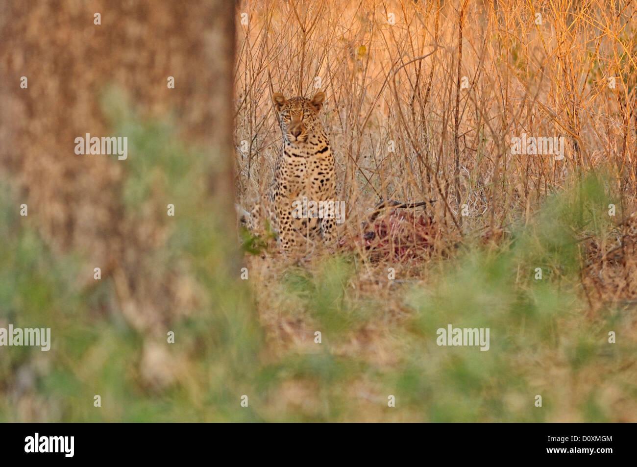 Africa, Botswana, Chobe, National Park, Leopard, animal, cat, wildlife, wild, wildlife - Stock Image