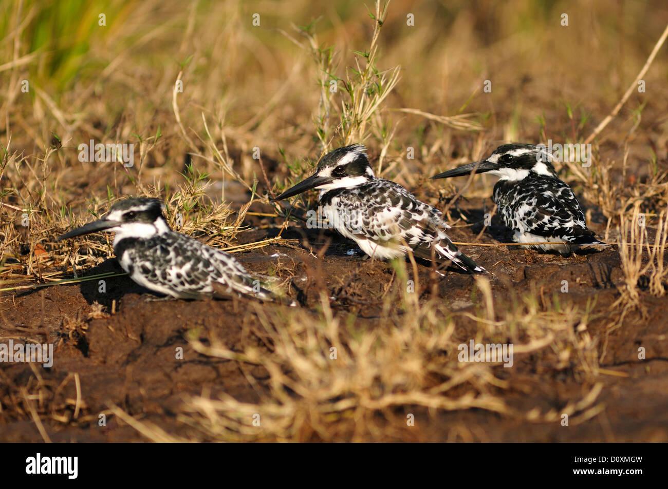 Africa, Botswana, Chobe, National Park, wildlife, Pied Kingfisher, Kingfisher, Ceryle rudis, perch, bill, fisher, Stock Photo