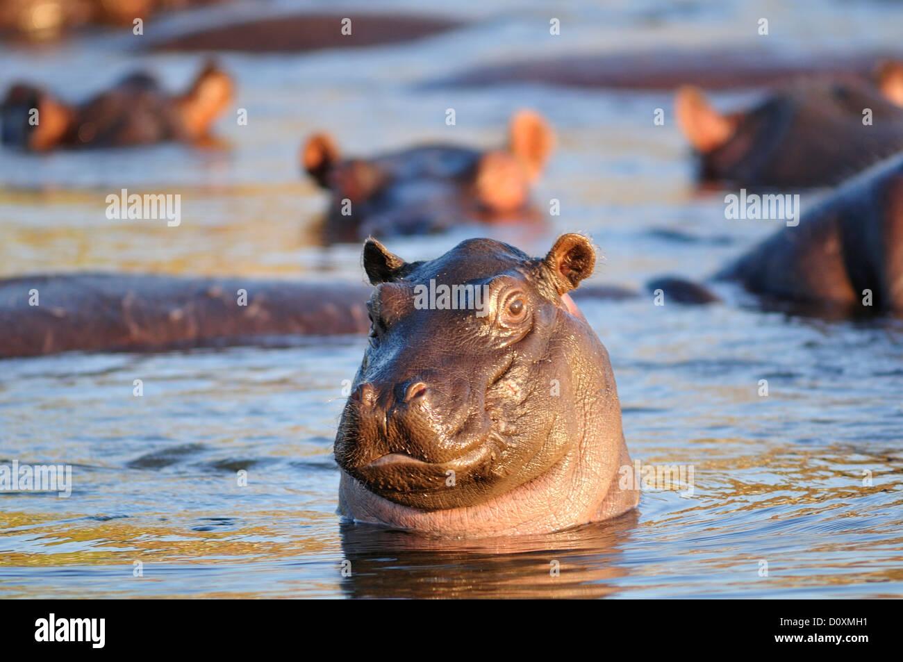 Africa, Botswana, Chobe, National Park, Hippopotamus amphibius, Hippo, Hippopotamus, animal, river, wildlife, wild, - Stock Image