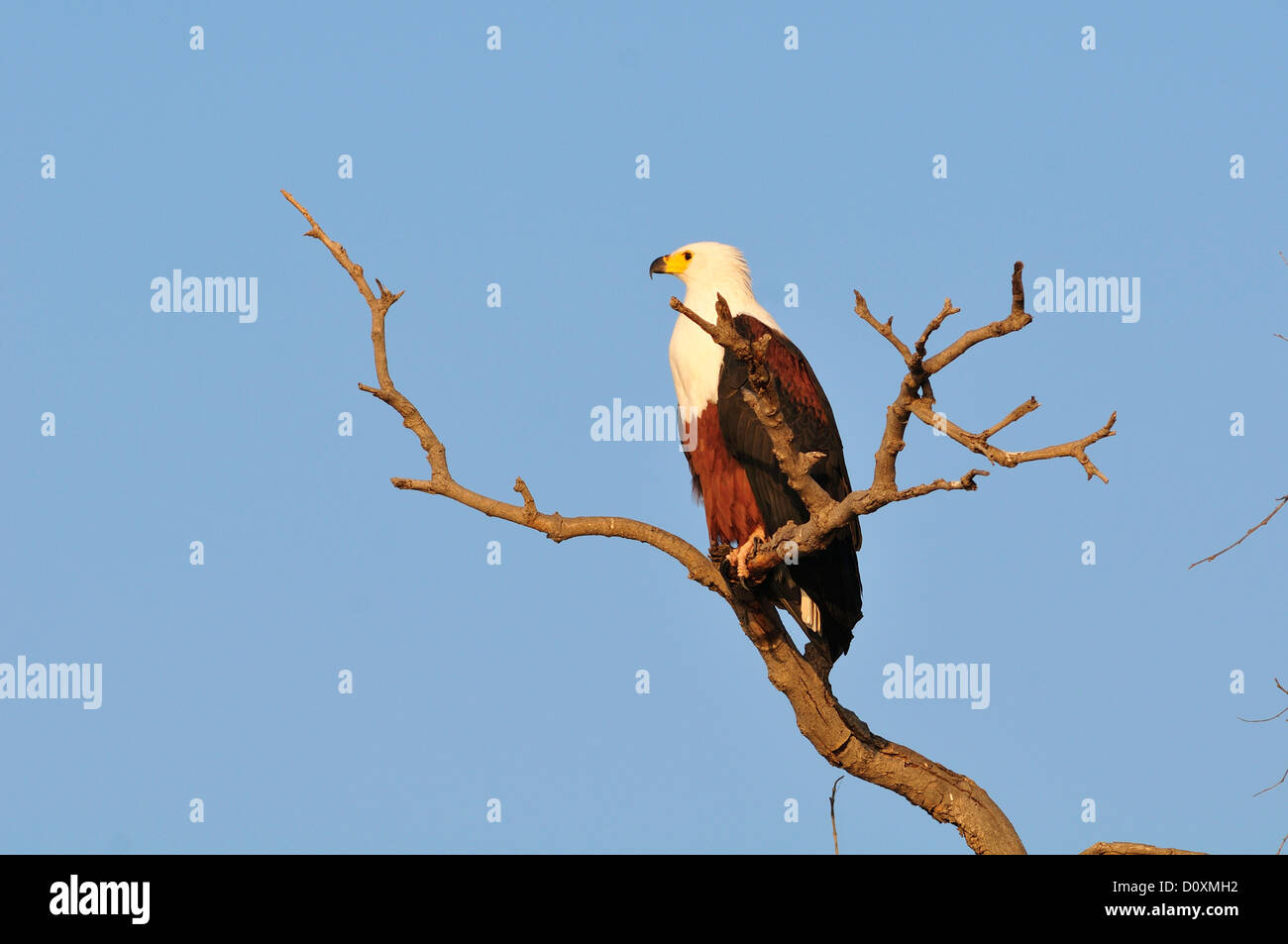 Africa, Botswana, Chobe, National Park, Fish Eagle, bird, Eagle, perch, wildlife, Haliaeetus vociferon, bird - Stock Image