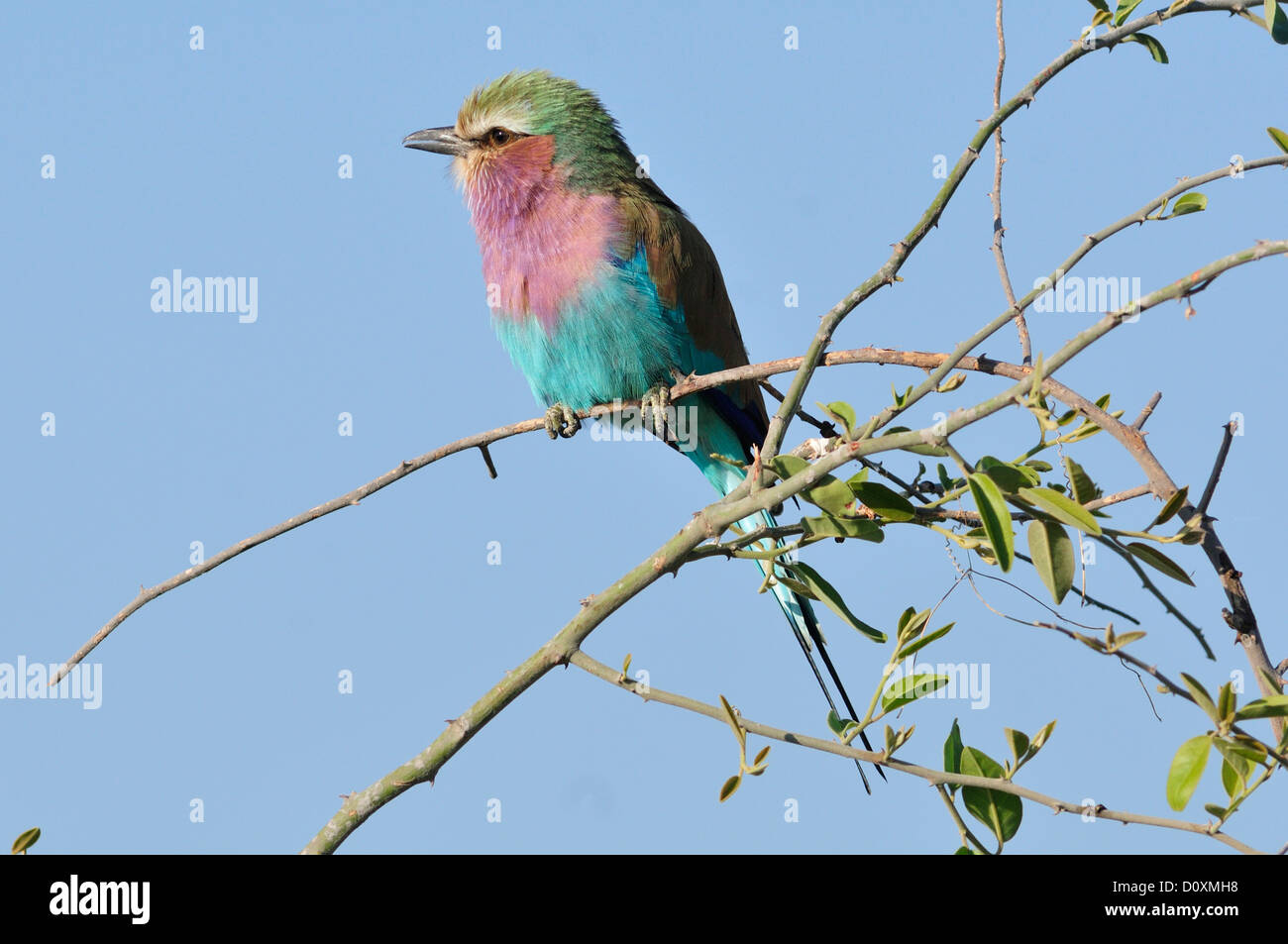 Africa, Botswana, Chobe, National Park, wildlife, Lilac-breasted Roller, Coracias caudatus, perch, bill, feeding, - Stock Image