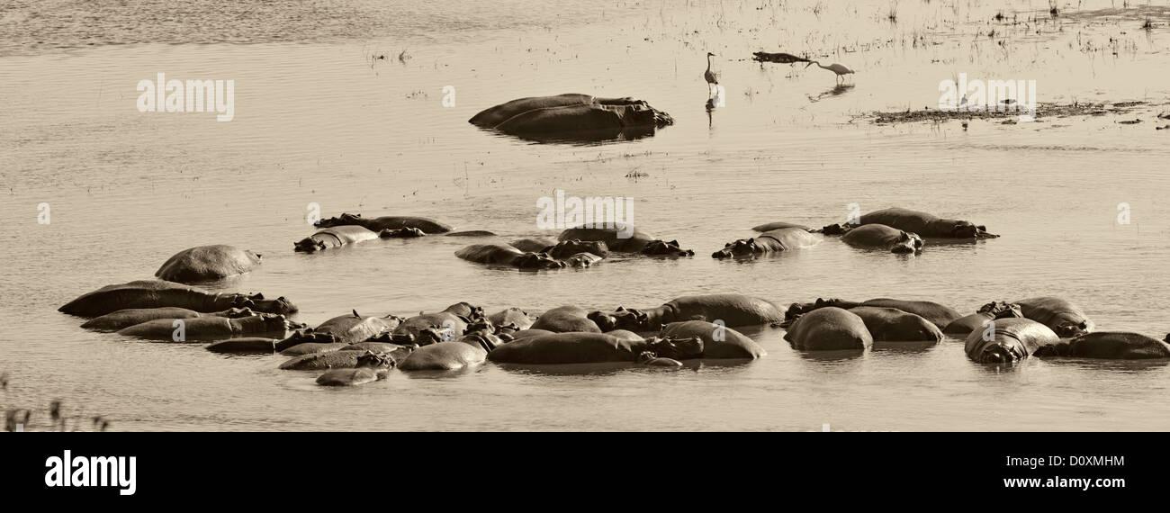 Africa, Botswana, Chobe, National Park, Hippopotamus amphibius, Hippo, Hippopotamus, animal, pool, river, soaking, - Stock Image
