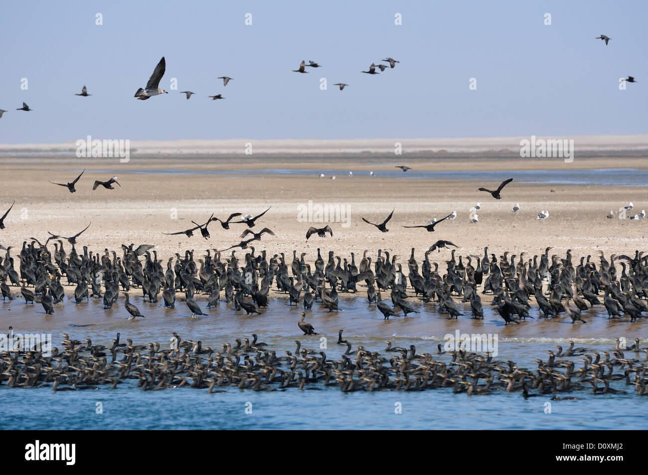 Africa, Namibia, Walvis Bay, Cormorants, Colony, birds, swarm, Stock Photo