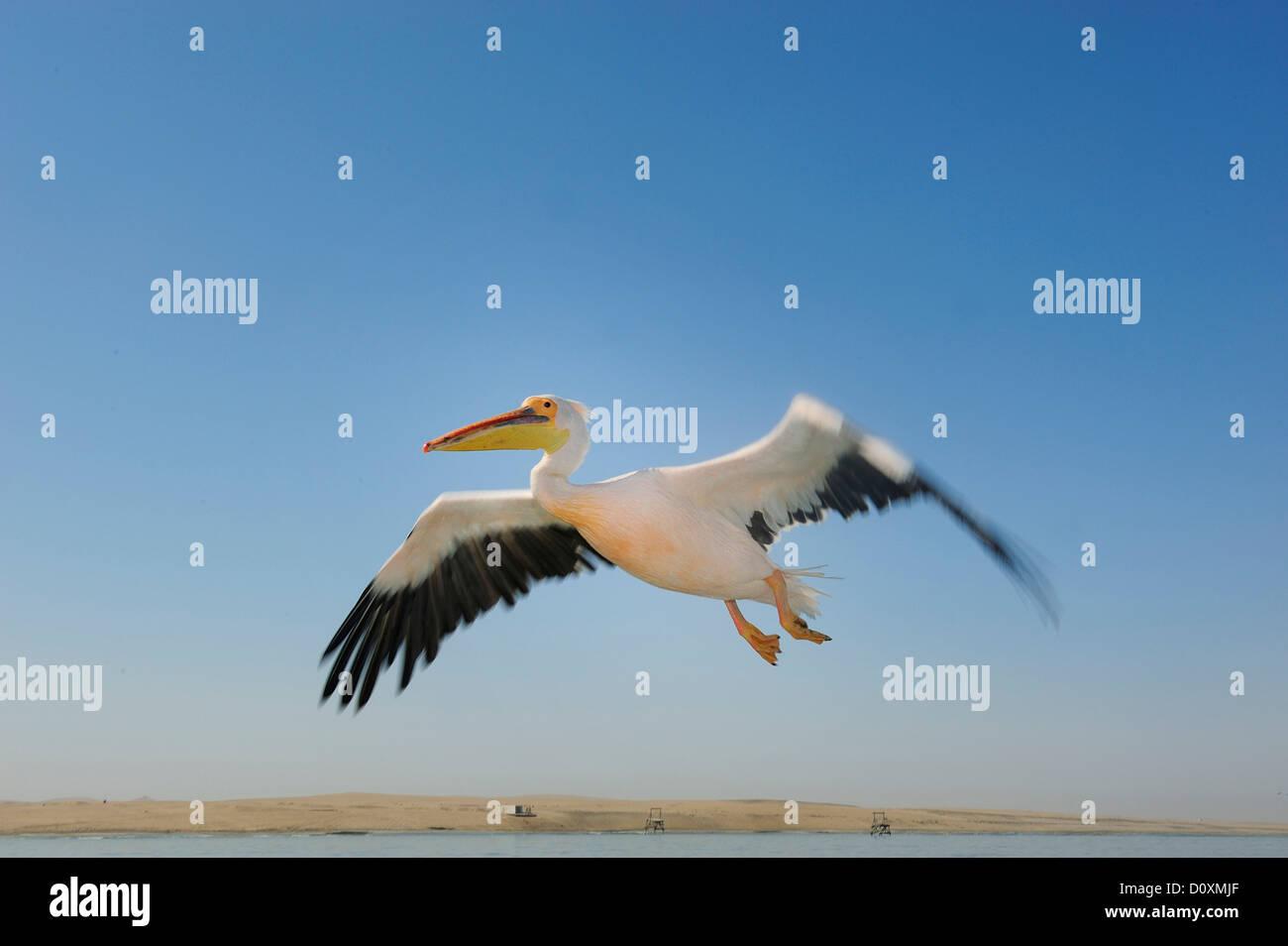 Africa, Namibia, Walvis Bay, Pelican, bird, flying - Stock Image