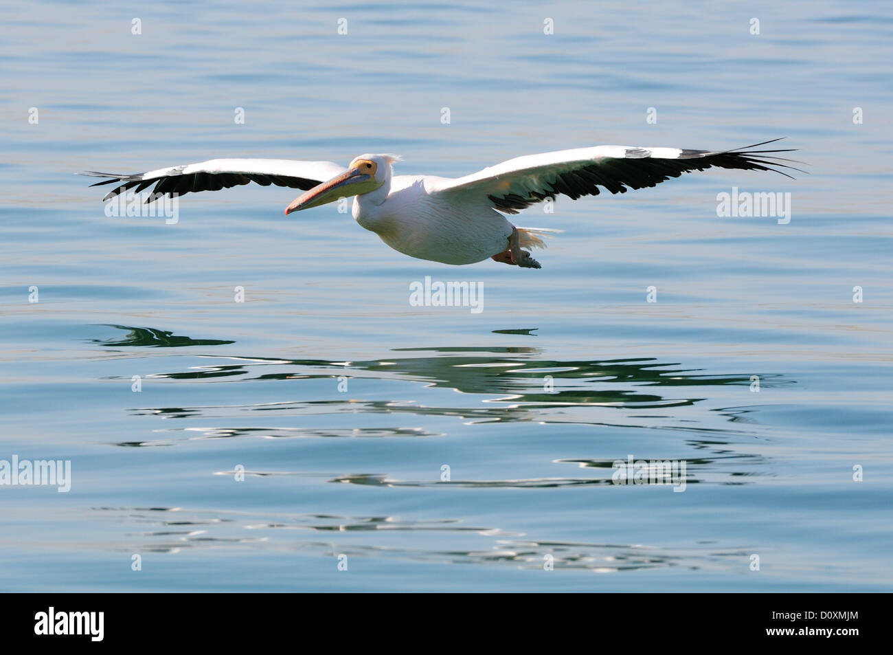 Africa, Namibia, Walvis Bay, Pelican, bird, flying - Stock Image