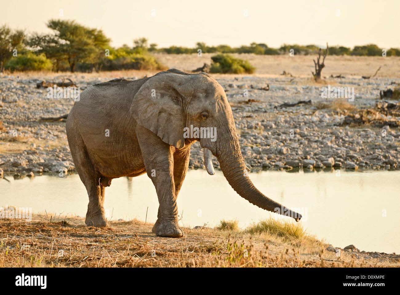 Africa, Etosha, National Park, Namibia, african, alone, animal, drinking, dusk, elephant, animal, horizontal, plains, - Stock Image