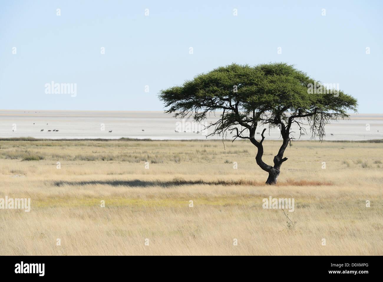 Africa, Etosha, National Park, Namibia, african, animal, bright, horizontal, plains, safari, savannah, tree - Stock Image