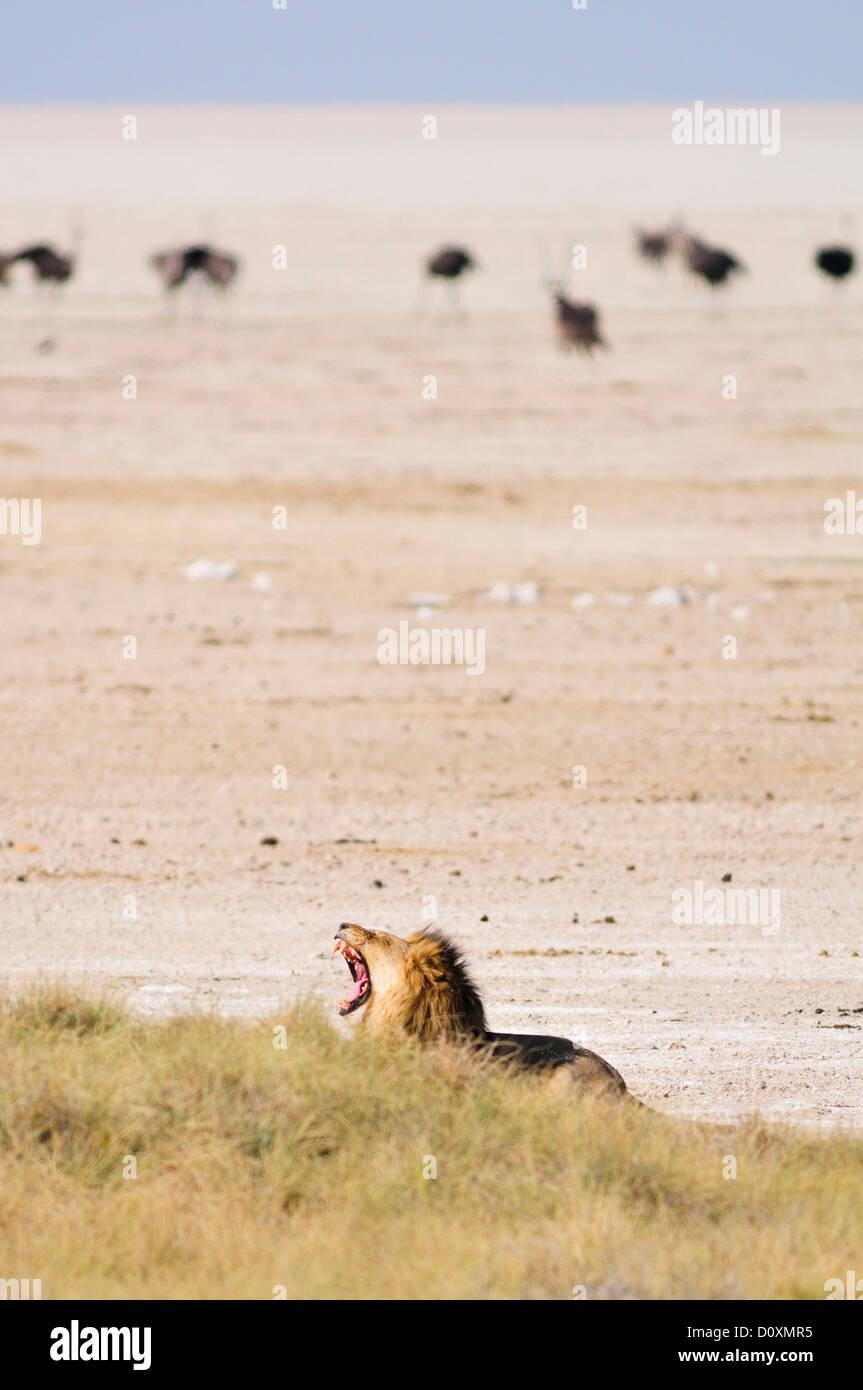 Africa, Etosha, National Park, Namibia, african, animal, hunting, ostrich, bird, plains, roar, roaring, safari, - Stock Image