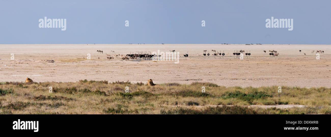 Africa, Namibia, Etosha, National Park, ostrich, bird, lion, animal, panorama, pan, landscape - Stock Image