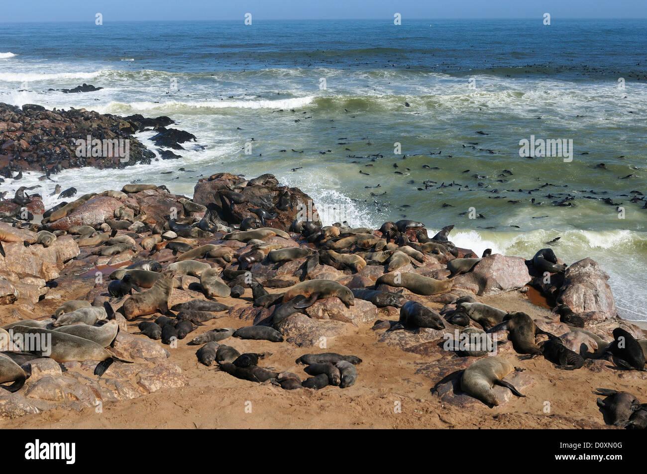 Africa, Cape Cross, Namibia, Seal Colony, Seals, animals, Skeleton Coast, beach, laying, mammal, ocean, sea lion, - Stock Image
