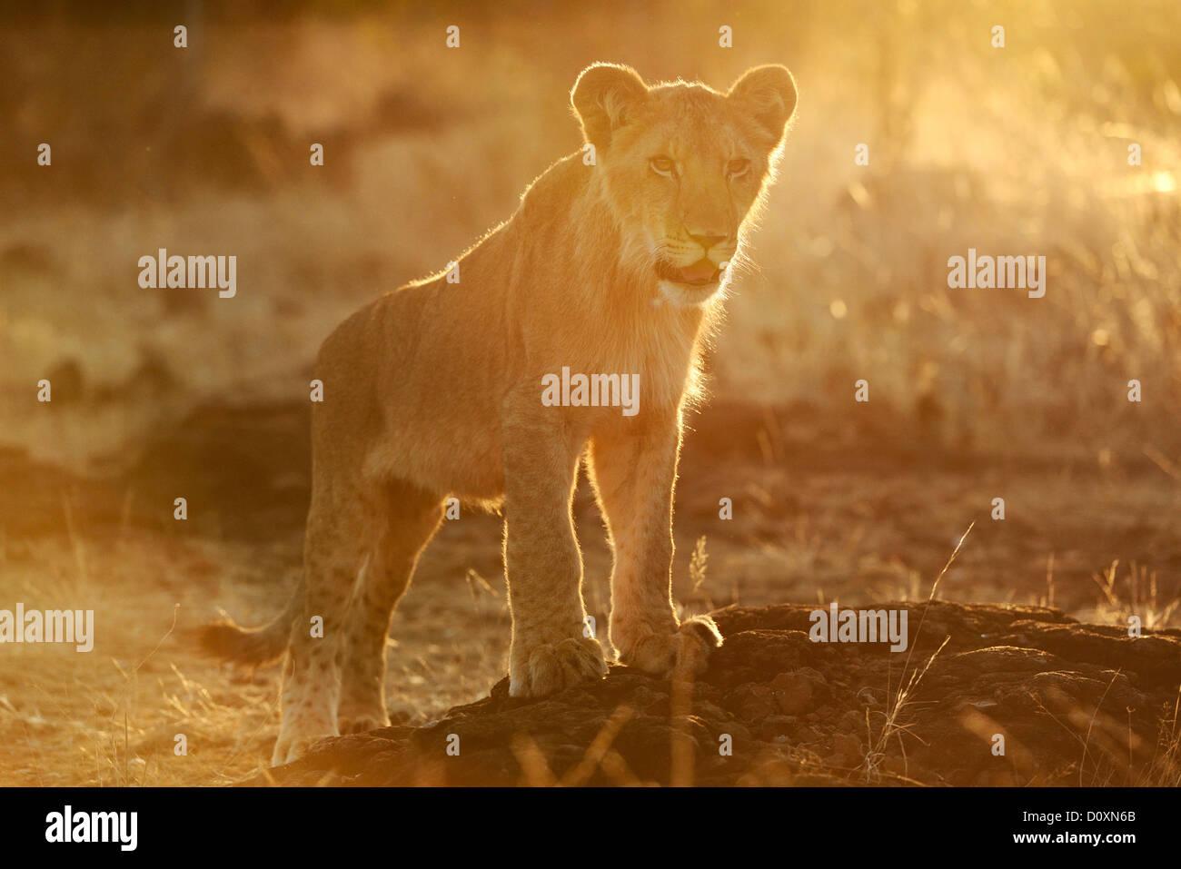 Africa, Zimbabwe, lion, animal, leo, wildlife, safari, pup - Stock Image