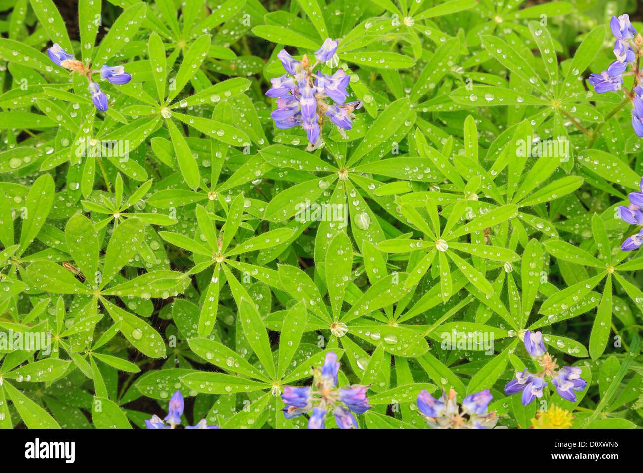Summer alpine wild flowers, Mount Rainier National Park, Washington, USA - Stock Image