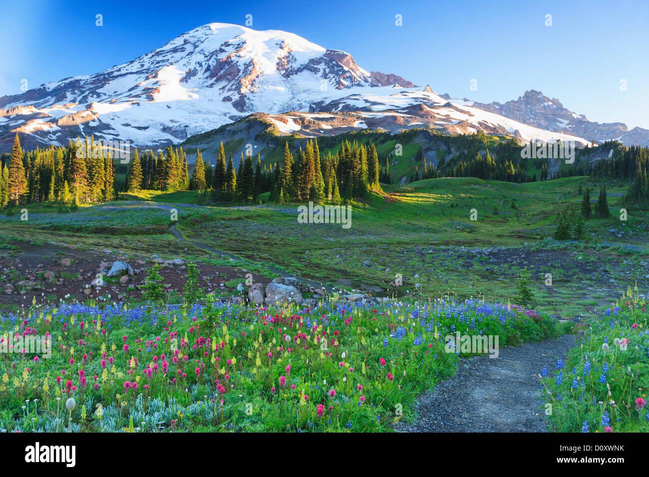 Summer alpine wild flower meadow, Mount Rainier National Park, Washington, USA - Stock Image