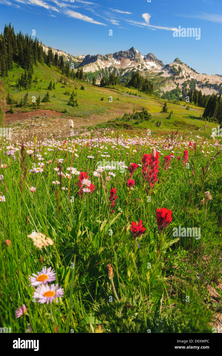 Summer alpine wild flower meadow, Mount Rainier National Park, Washington, USA Stock Photo