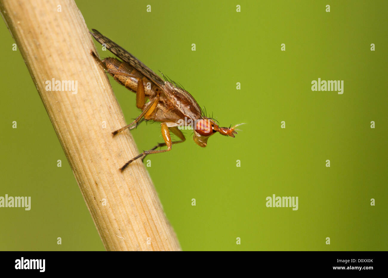 Deer fly isolated on a green background. Stock Photo