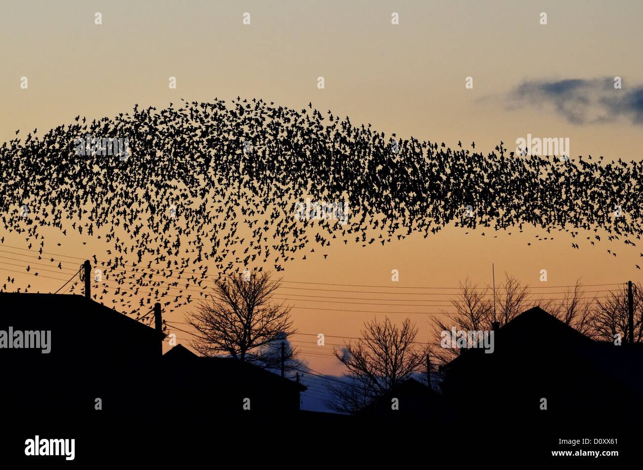 Starlings displaying at sunset prior to roosting near Okehampton, Devon - Stock Image