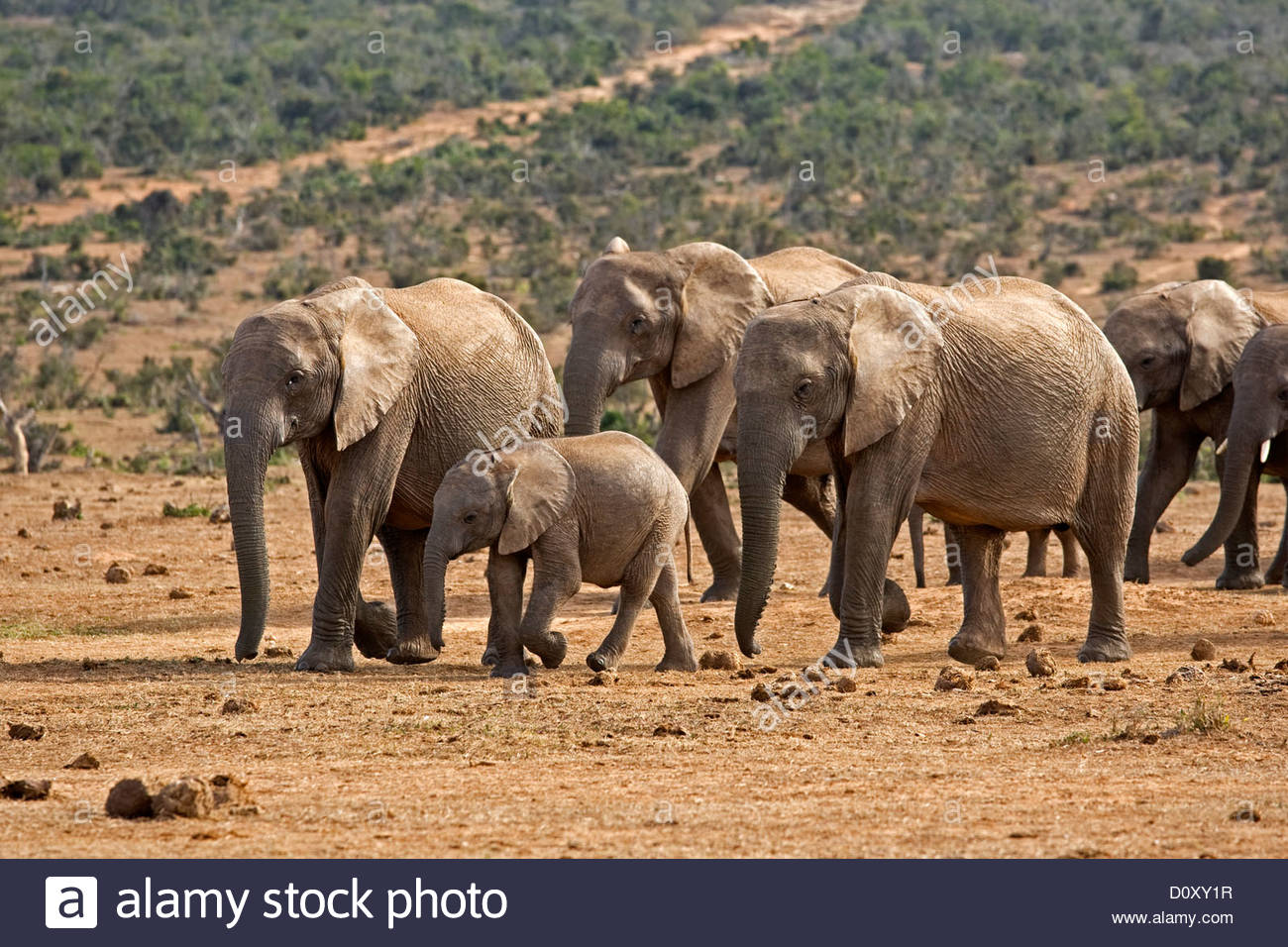 African Elephant (Loxodonta africana) herd with baby approaching waterhole, Addo Elephant National Park, South Africa - Stock Image