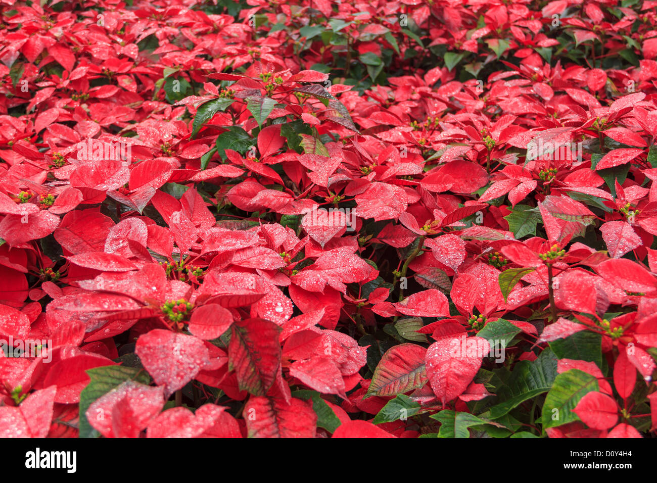 Red Poinsettia Garden With Green Leaves Christmas Flower Stock