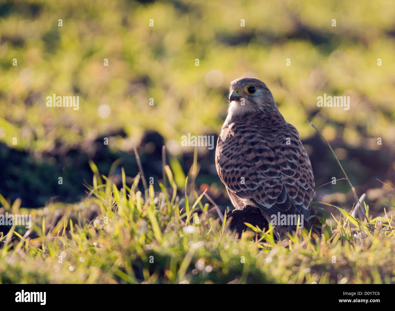 Wild Kestrel, Falco tinnunculus on ground with prey after successful hunting attempt - Stock Image