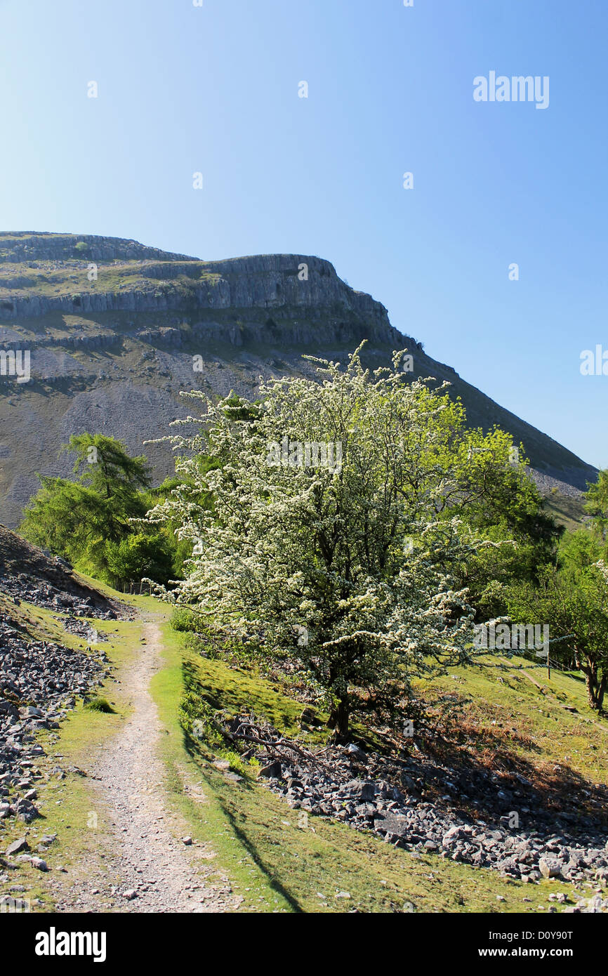 Hawthorn tree in blossom on Eglwyseg mountain Llangollen - Stock Image